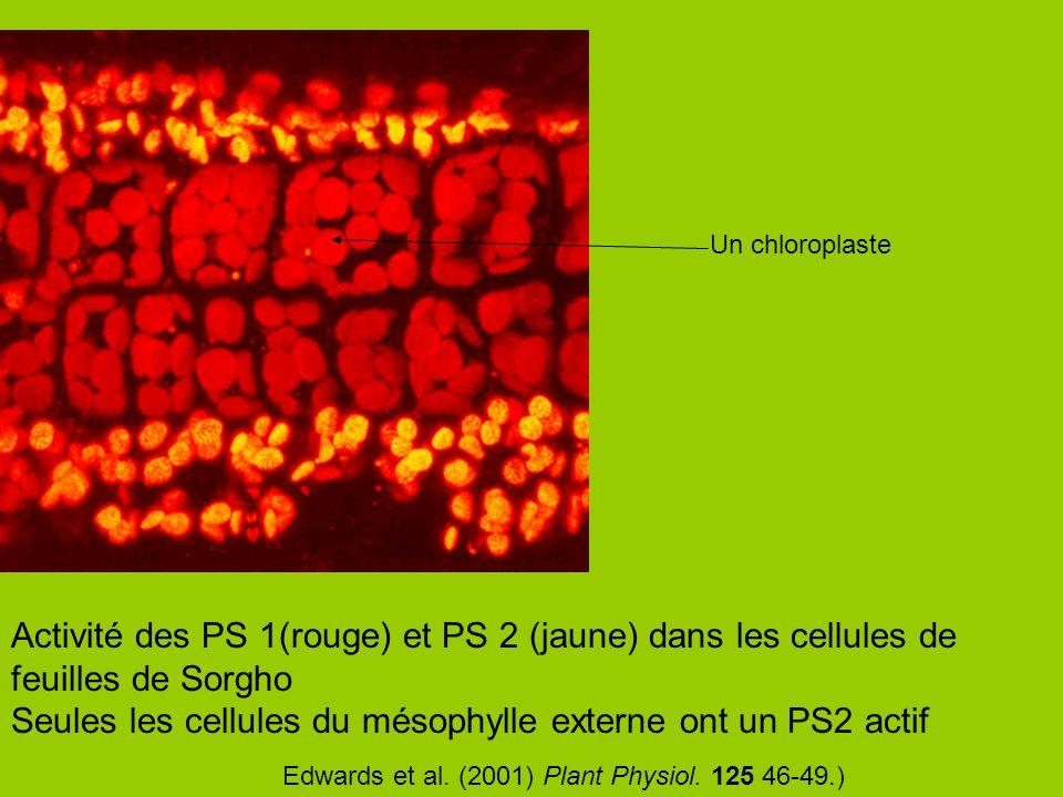 Activité des PS 1(rouge) et PS 2 (jaune) dans les cellules de