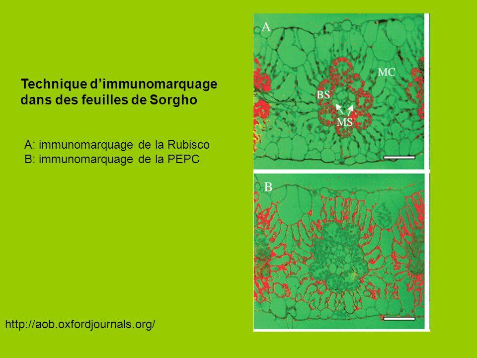 Technique d'immunomarquage dans des feuilles de Sorgho