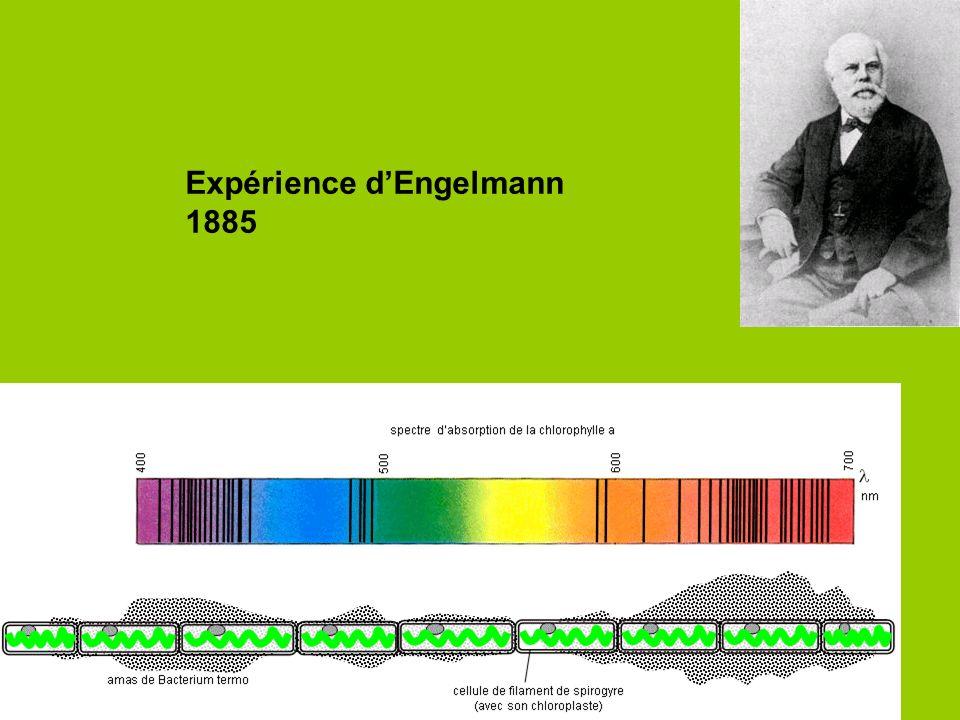 Expérience d'Engelmann
