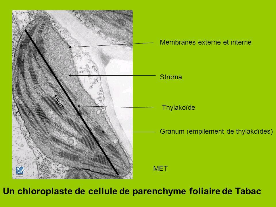 Un chloroplaste de cellule de parenchyme foliaire de Tabac