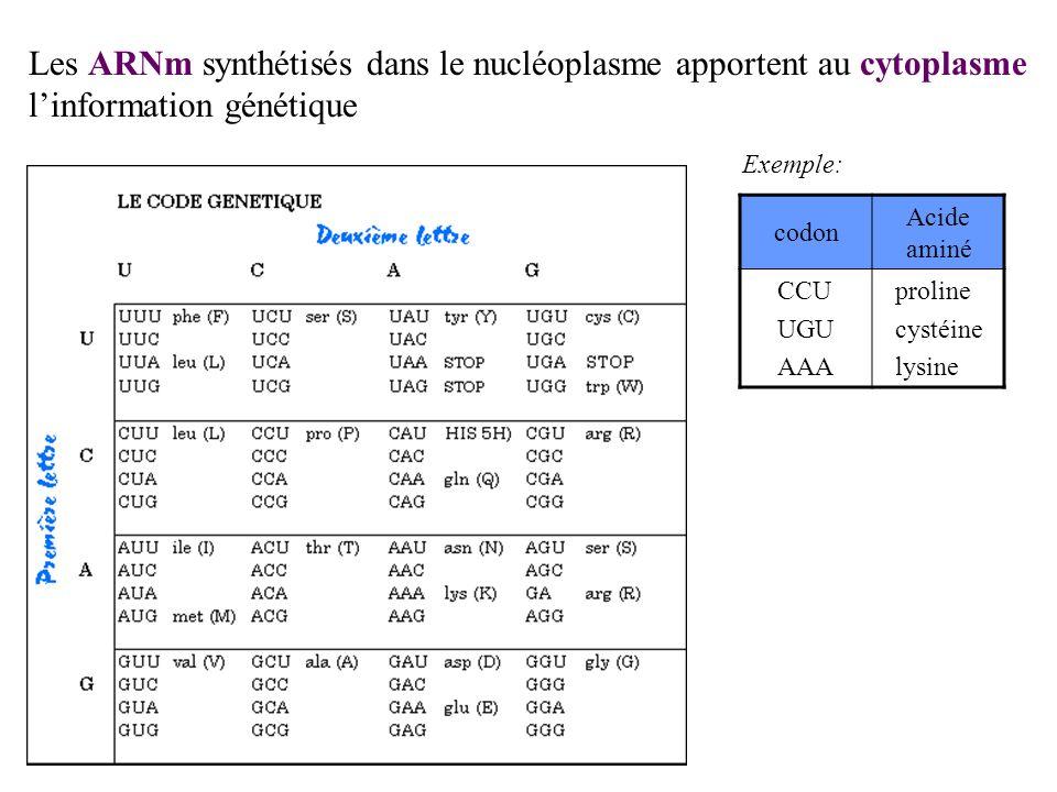 Les ARNm synthétisés dans le nucléoplasme apportent au cytoplasme l'information génétique