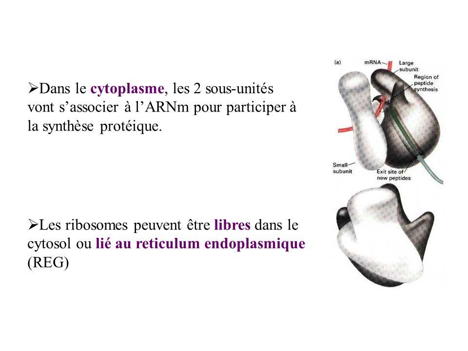 Dans le cytoplasme, les 2 sous-unités vont s'associer à l'ARNm pour participer à la synthèse protéique.