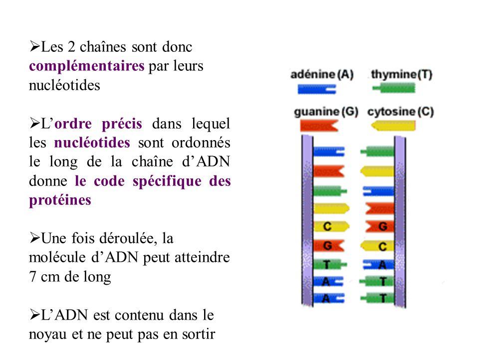 Les 2 chaînes sont donc complémentaires par leurs nucléotides