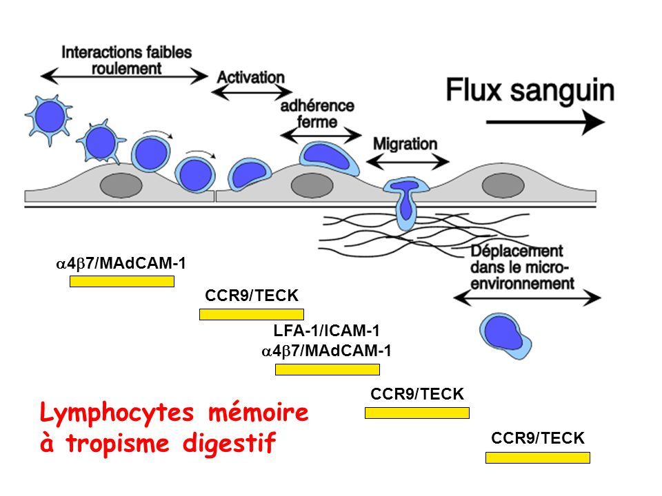 Lymphocytes mémoire à tropisme digestif