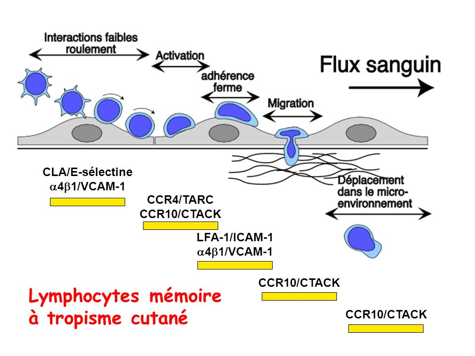 Lymphocytes mémoire à tropisme cutané