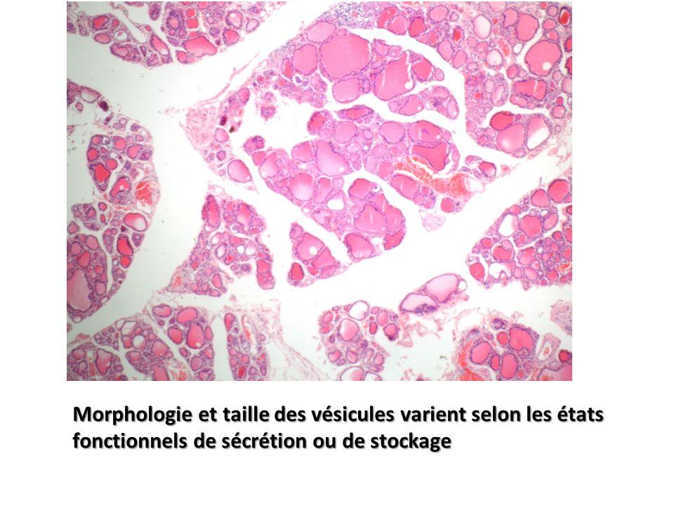 Morphologie et taille des vésicules varient selon les états fonctionnels de sécrétion ou de stockage