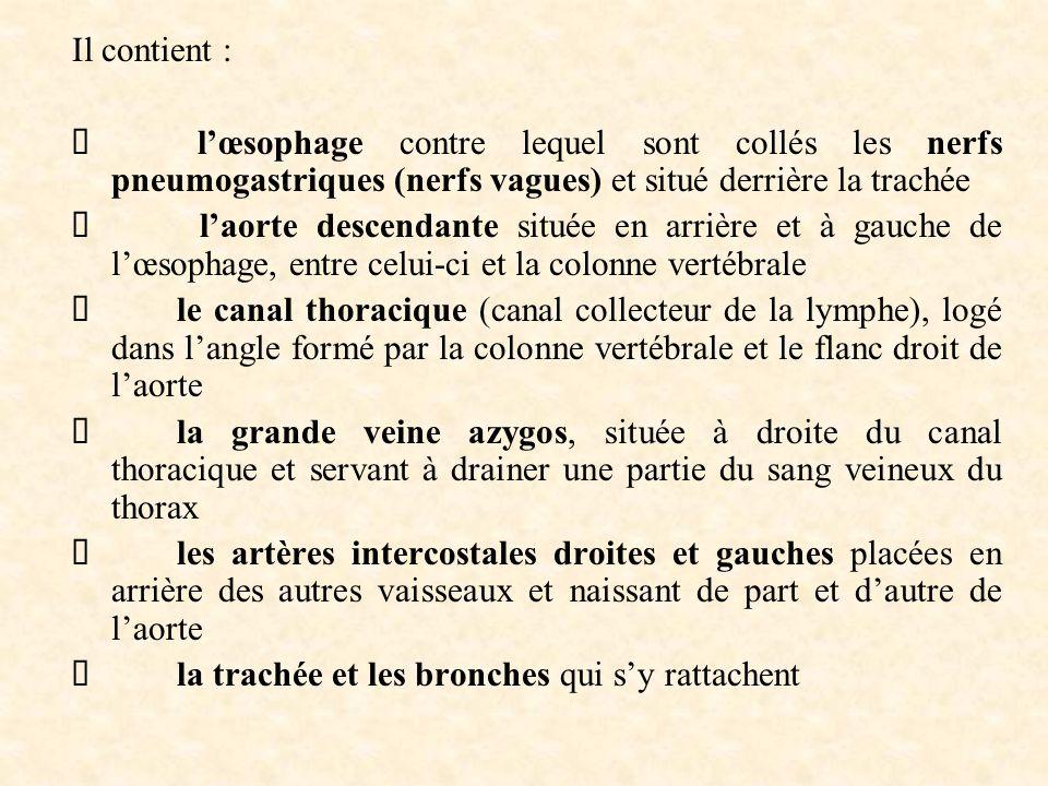 Il contient : Ø l'œsophage contre lequel sont collés les nerfs pneumogastriques (nerfs vagues) et situé derrière la trachée.