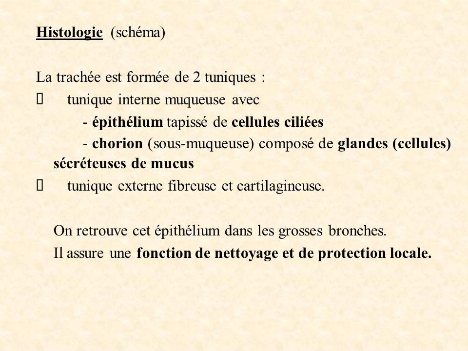 Histologie (schéma) La trachée est formée de 2 tuniques : Ø tunique interne muqueuse avec. - épithélium tapissé de cellules ciliées.