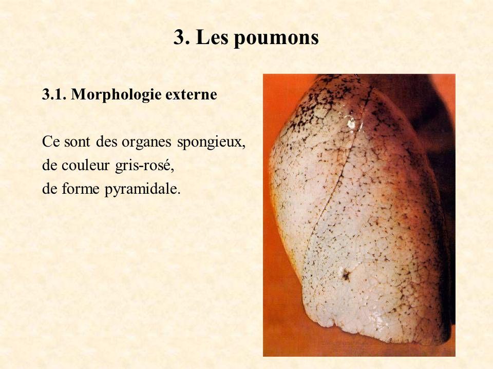 3. Les poumons 3.1. Morphologie externe Ce sont des organes spongieux,