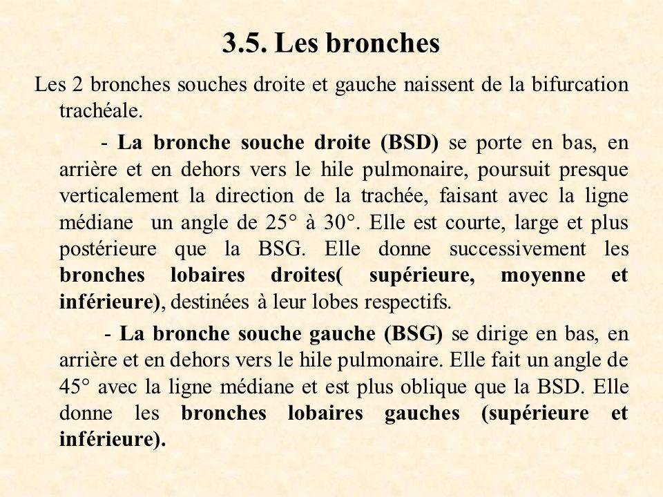3.5. Les bronches Les 2 bronches souches droite et gauche naissent de la bifurcation trachéale.