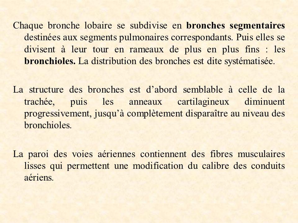 Chaque bronche lobaire se subdivise en bronches segmentaires destinées aux segments pulmonaires correspondants. Puis elles se divisent à leur tour en rameaux de plus en plus fins : les bronchioles. La distribution des bronches est dite systématisée.