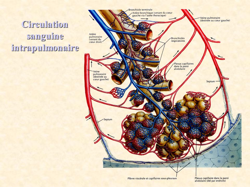 Circulation sanguine intrapulmonaire