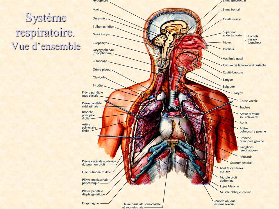 Système respiratoire. Vue d'ensemble