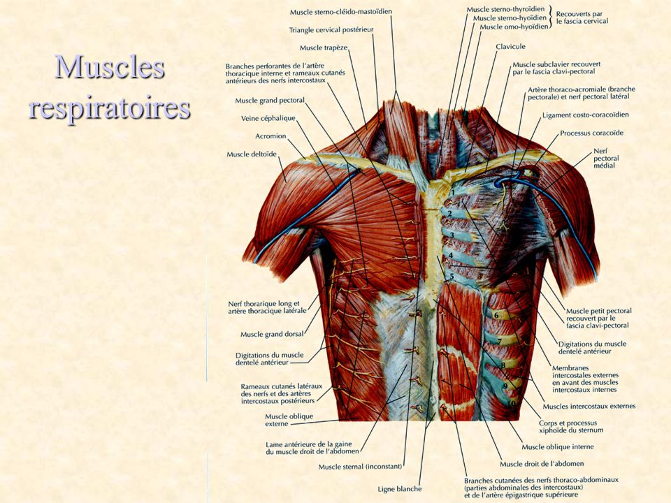 Muscles respiratoires