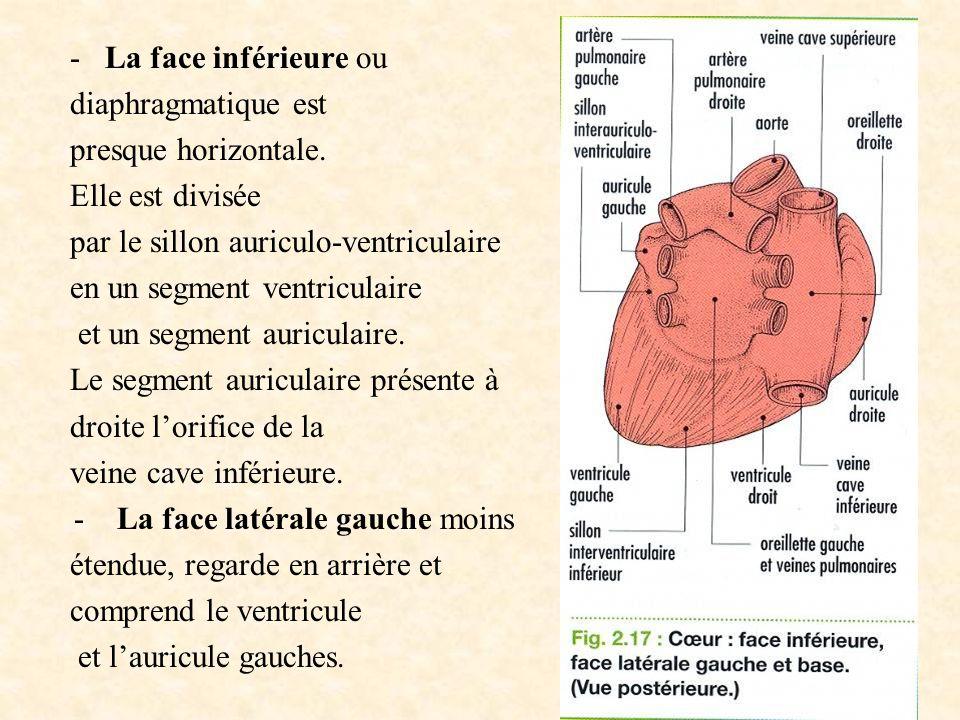 - La face inférieure ou diaphragmatique est. presque horizontale. Elle est divisée. par le sillon auriculo-ventriculaire.