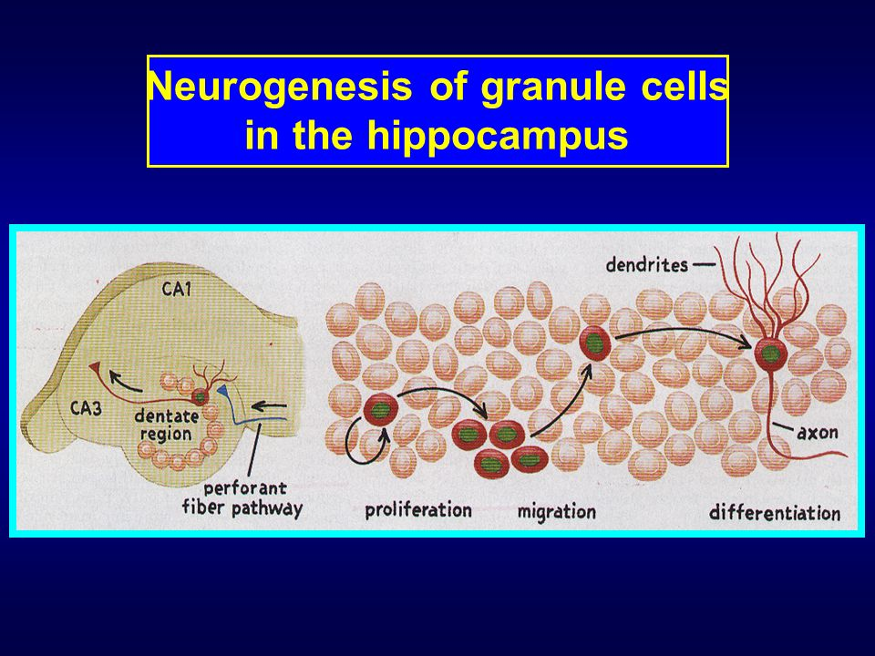 Neurogenesis of granule cells