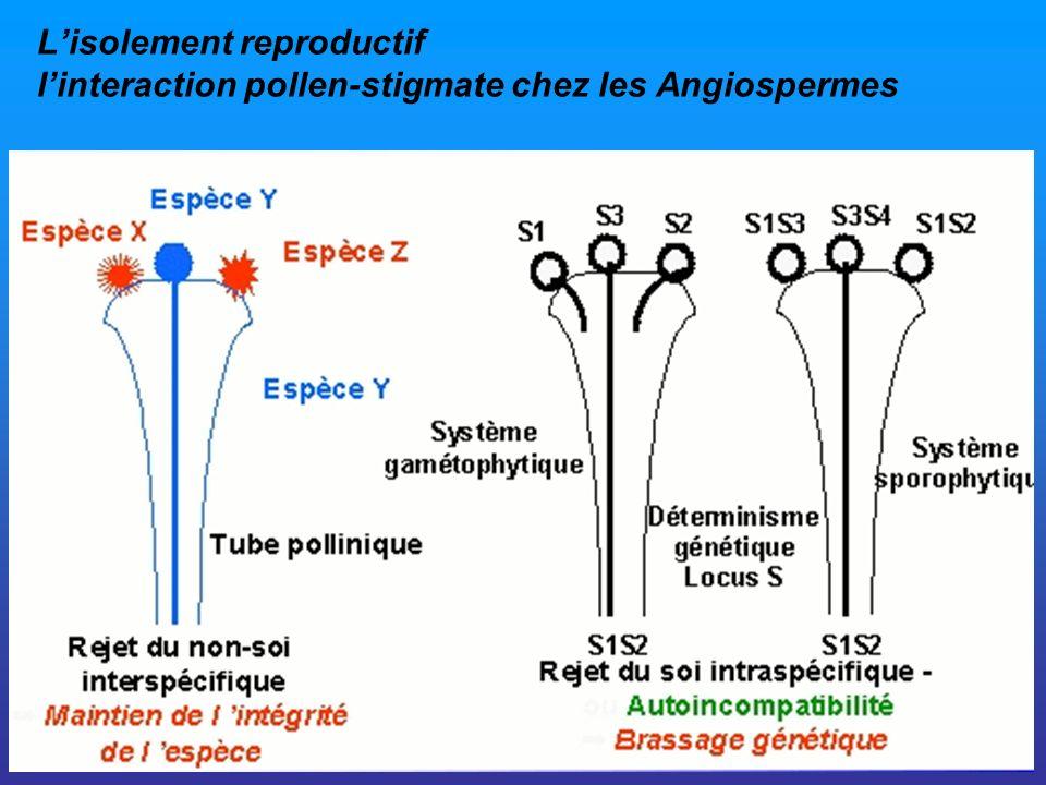 L'isolement reproductif l'interaction pollen-stigmate chez les Angiospermes