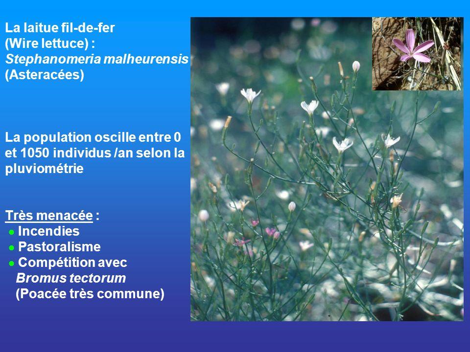 La laitue fil-de-fer (Wire lettuce) : Stephanomeria malheurensis (Asteracées) La population oscille entre 0 et 1050 individus /an selon la pluviométrie Très menacée :  Incendies  Pastoralisme  Compétition avec Bromus tectorum (Poacée très commune)