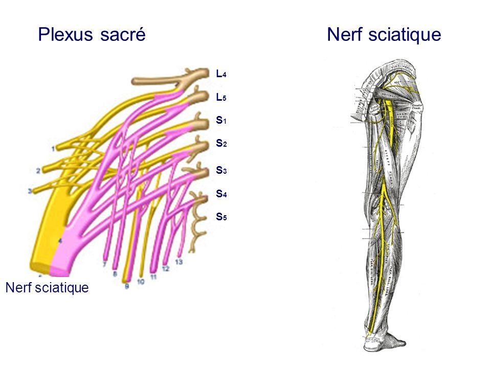 Plexus sacré Nerf sciatique