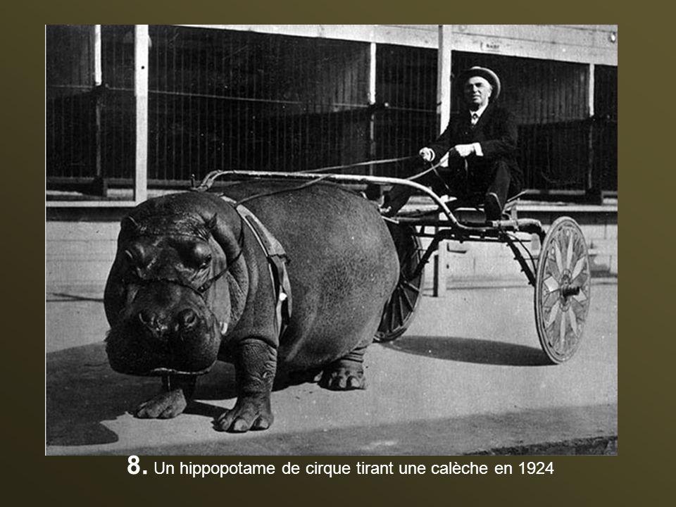 8. Un hippopotame de cirque tirant une calèche en 1924