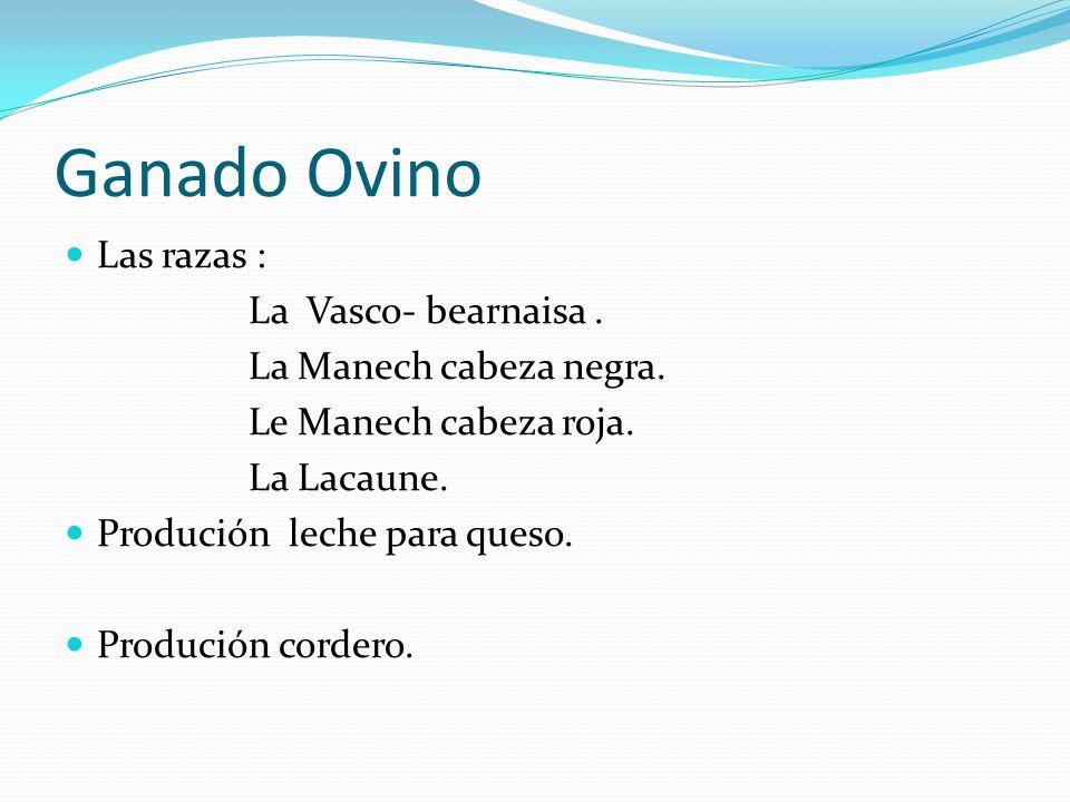 Ganado Ovino Las razas : La Vasco- bearnaisa . La Manech cabeza negra.