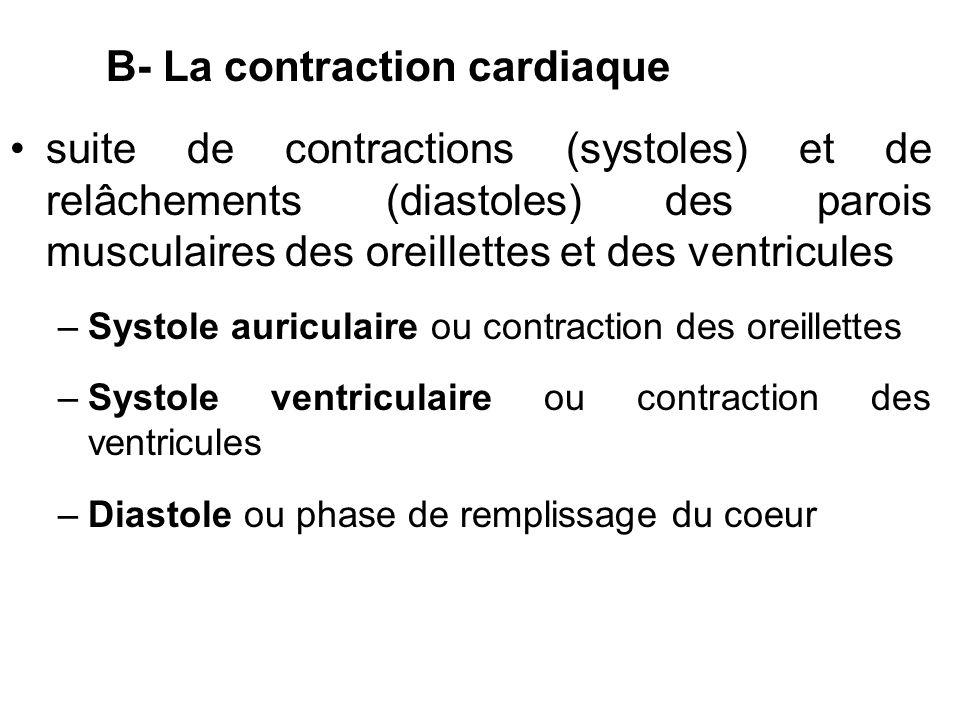 B- La contraction cardiaque