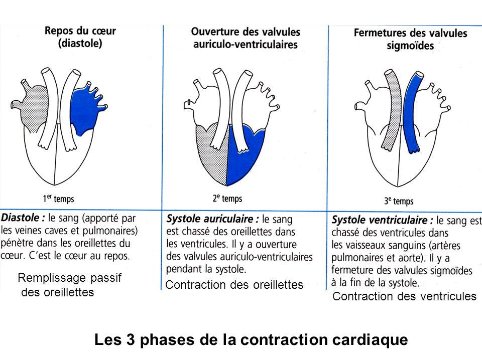 Les 3 phases de la contraction cardiaque