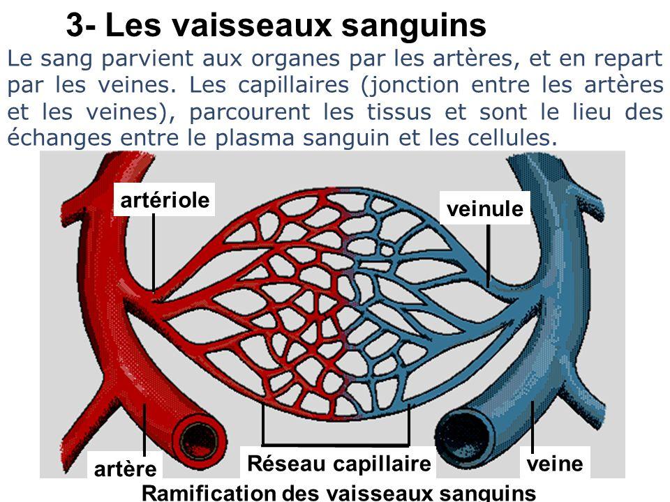 3- Les vaisseaux sanguins