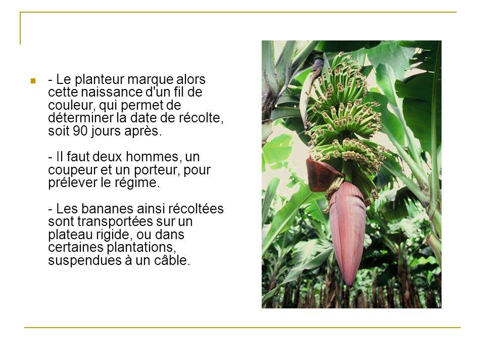 - Le planteur marque alors cette naissance d un fil de couleur, qui permet de déterminer la date de récolte, soit 90 jours après.