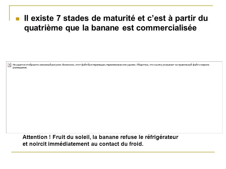 Il existe 7 stades de maturité et c'est à partir du quatrième que la banane est commercialisée
