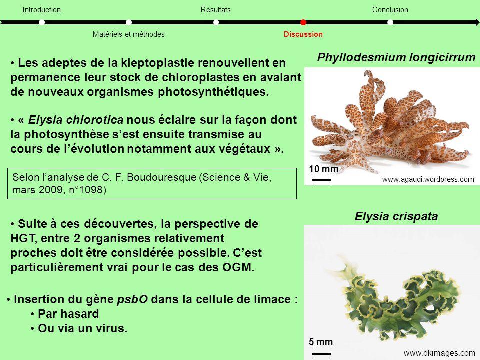 Phyllodesmium longicirrum