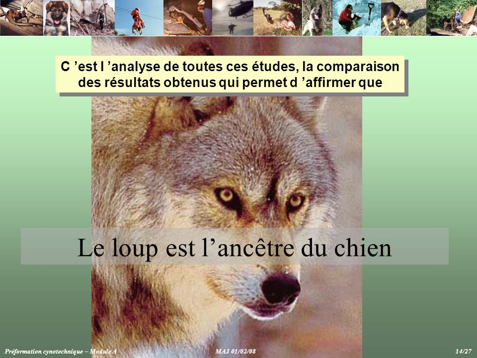 Le loup est l'ancêtre du chien