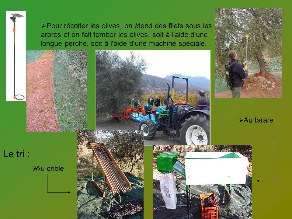 Pour récolter les olives, on étend des filets sous les arbres et on fait tomber les olives, soit à l aide d une longue perche, soit à l aide d une machine spéciale.