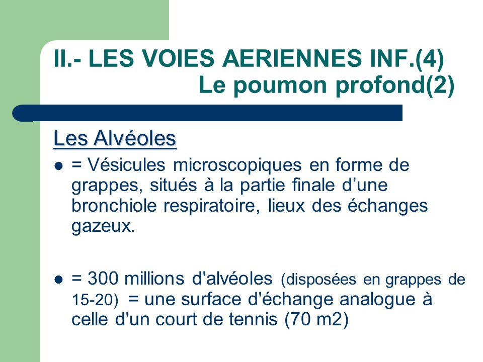 II.- LES VOIES AERIENNES INF.(4) Le poumon profond(2)