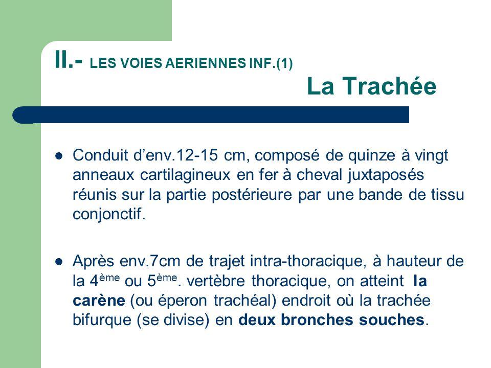 II.- LES VOIES AERIENNES INF.(1) La Trachée