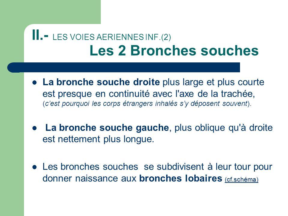 II.- LES VOIES AERIENNES INF.(2) Les 2 Bronches souches