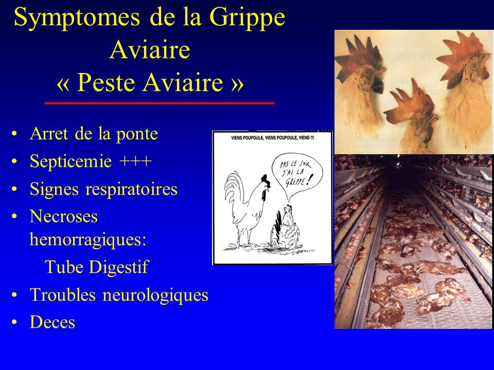 Symptomes de la Grippe Aviaire « Peste Aviaire »