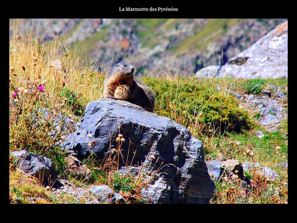 La Marmotte des Pyrénées