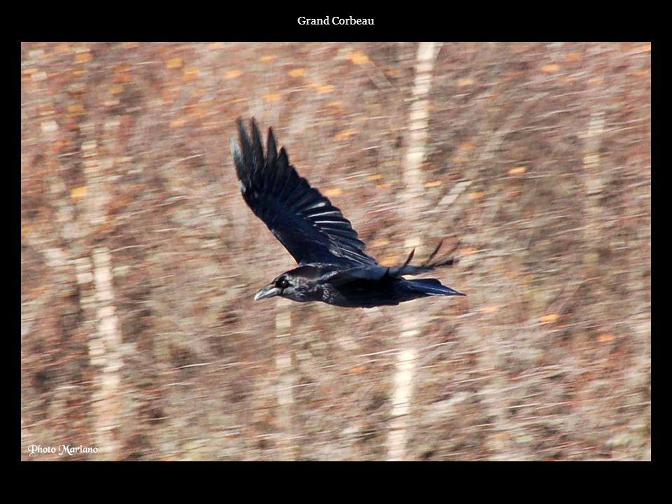 Grand Corbeau . . . . .