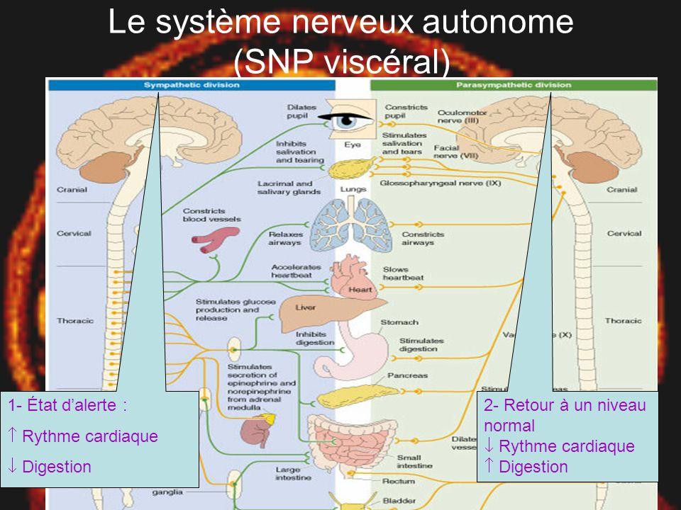Le système nerveux autonome (SNP viscéral)