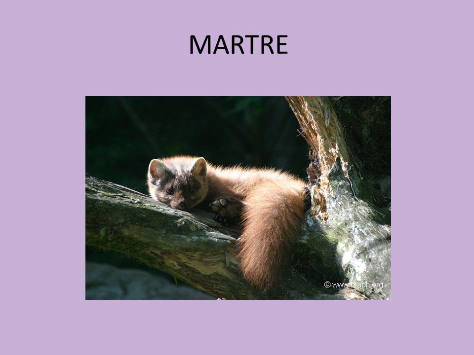 MARTRE