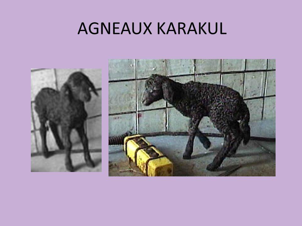 AGNEAUX KARAKUL