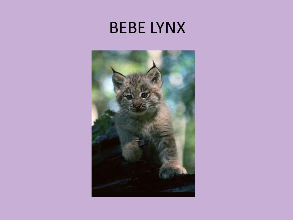 BEBE LYNX