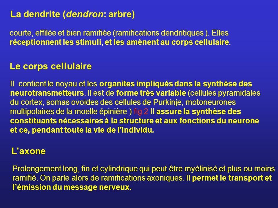 La dendrite (dendron: arbre)