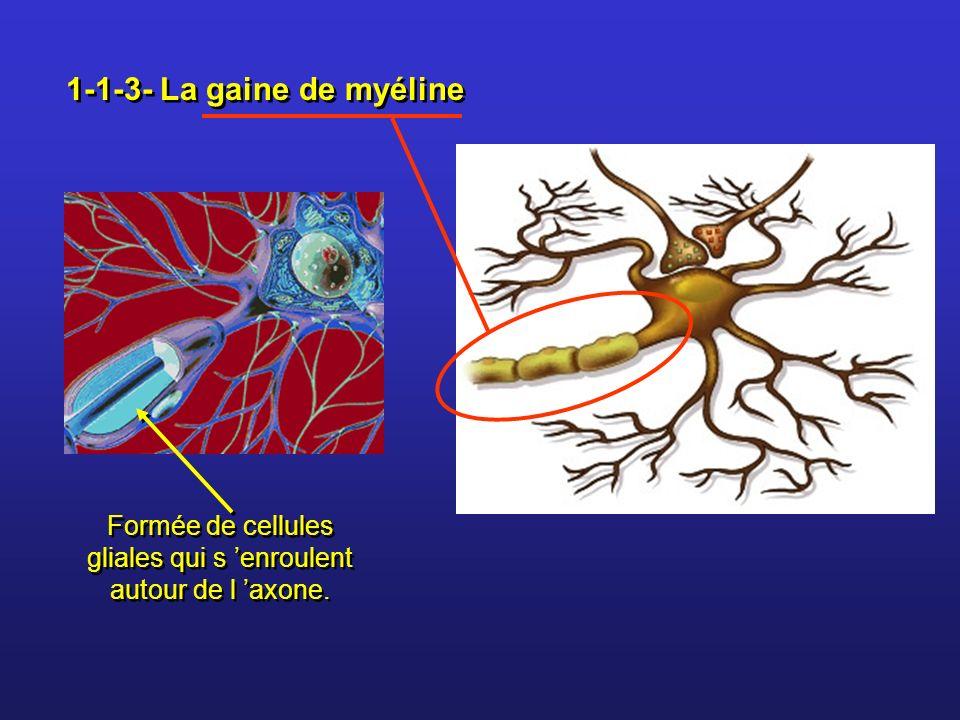 Formée de cellules gliales qui s 'enroulent autour de l 'axone.