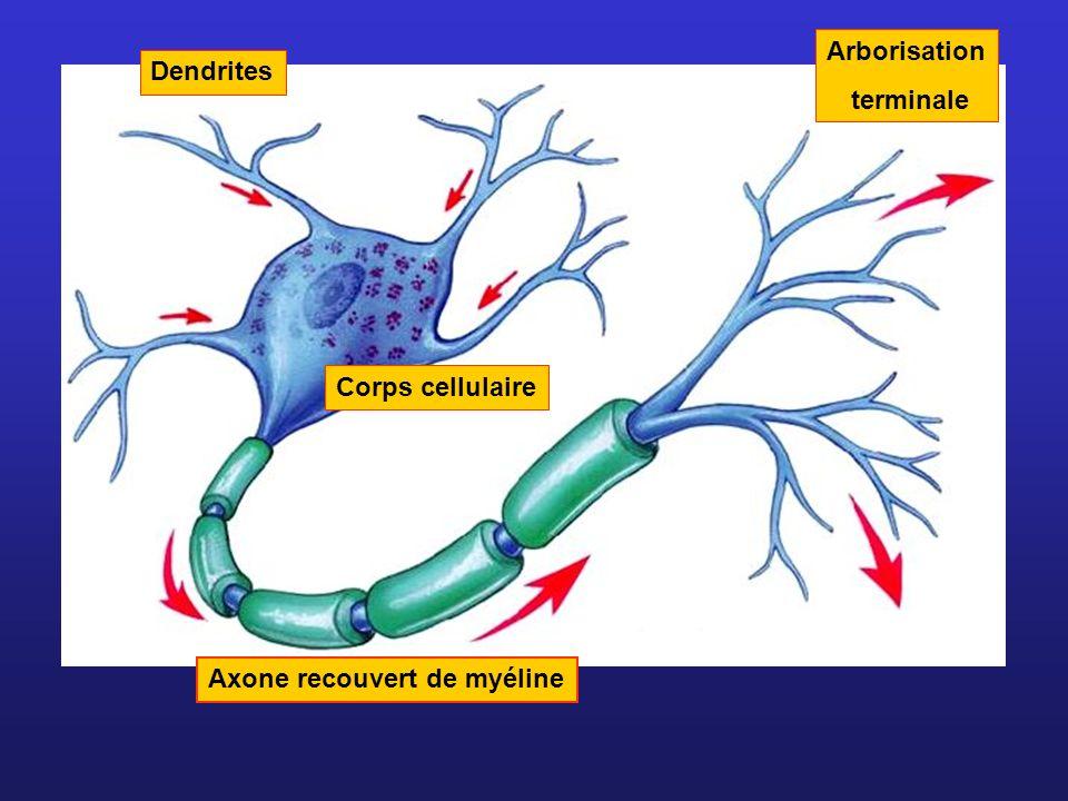 Arborisation terminale Dendrites Corps cellulaire Axone recouvert de myéline