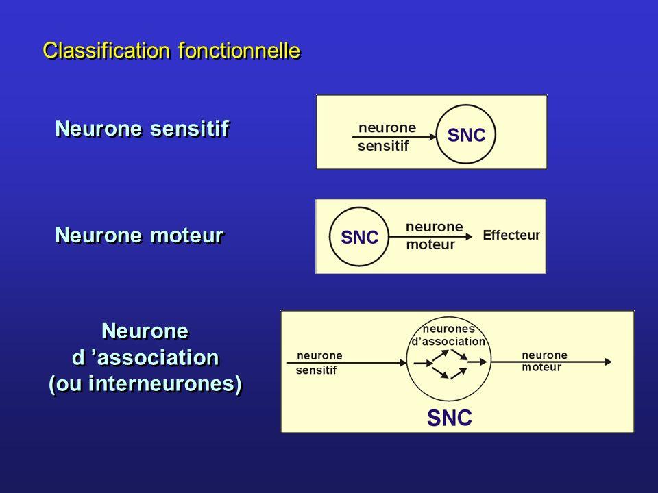 Neurone d 'association (ou interneurones)