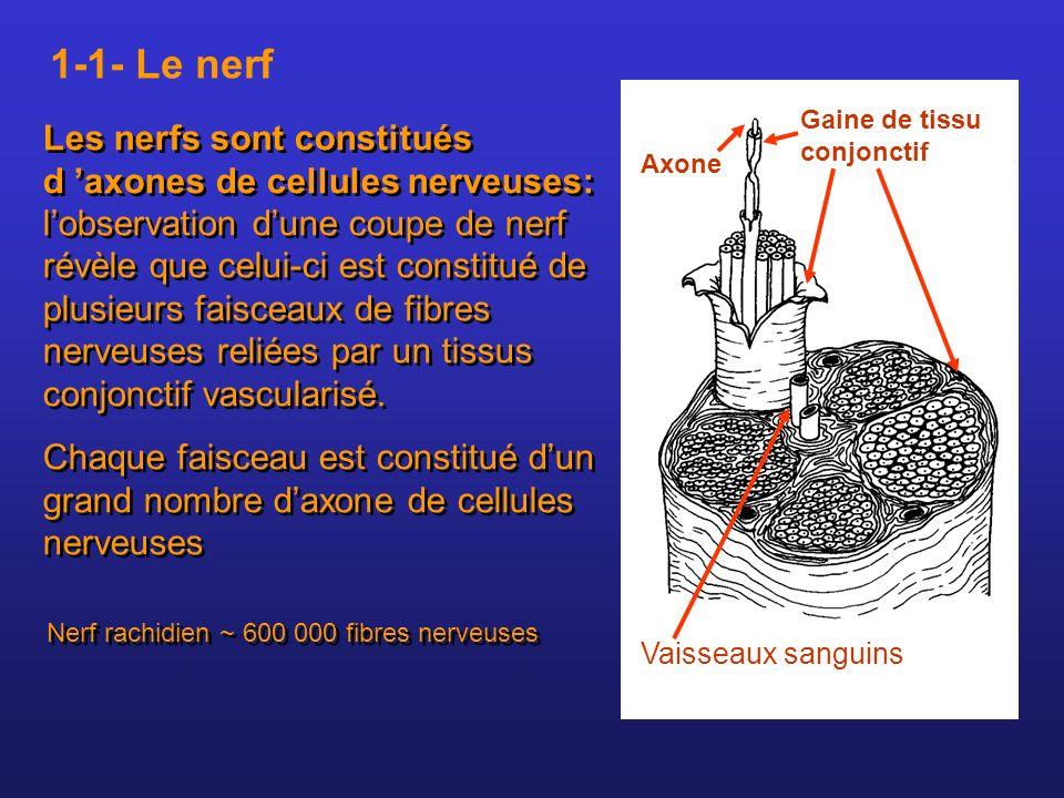 1-1- Le nerf Gaine de tissu conjonctif.