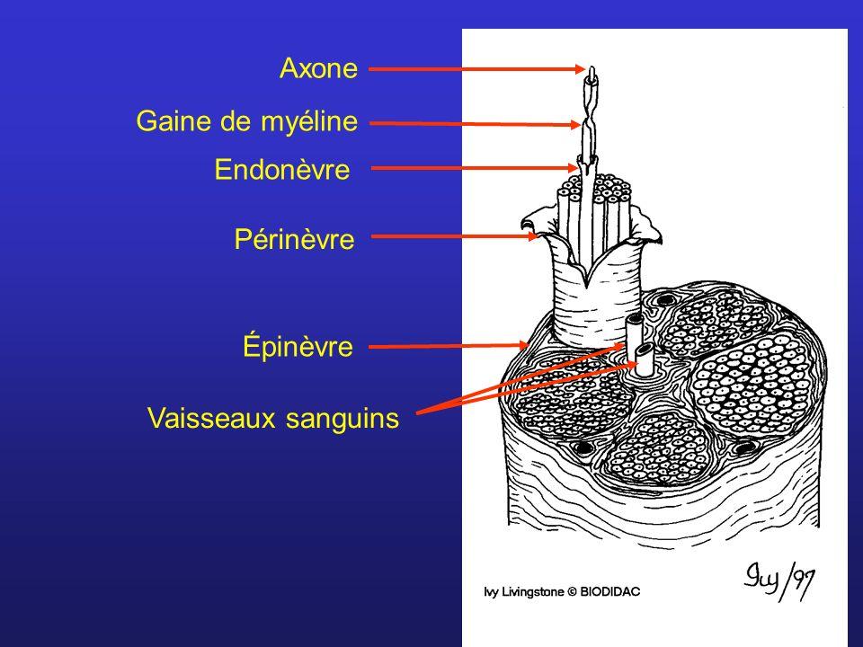 Axone Gaine de myéline Endonèvre Périnèvre Épinèvre Vaisseaux sanguins