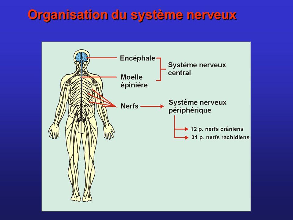Organisation du système nerveux